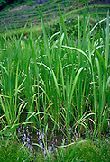Rice crop growing in the Philippines