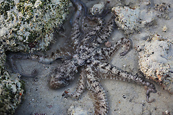 An octopus tries to hide in a shallow pool exposed on low tides at Broome's Cable Beach.