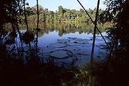 Lake with Lily Pads off the Rio Yarapa, Peru