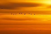 Canada geese (Branta canadensis) in flight at sunset<br />Oak Hammock Marsh<br />Manitoba<br />Canada