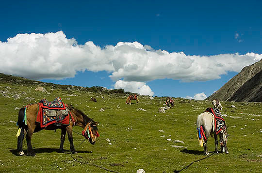 Decorated horses grazing. Tibet.