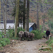 Water buffalo on a street near the Lung Khau Nhin Market. Vietnam. Lung Khau Nhin Market is rural tribal market hiding itself amongst the mountains and forests of the far north Vietnam about 10 km from the border with China. The market plays an important role for the local ethnic people, Flower Hmong, Black Zao, Zay, and very small ethnic groups  Pa Zi, Tou Zi, Tou Lao. Tourist trips to the market run from Sapa and Lao Cai every week. Lung Khau Nhin Market, Vietnam.15th March 2012. Photo Tim Clayton