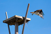 Osprey, Pandion haliaetus, taking off and flying from birds nest on Captiva Island in Florida, USA
