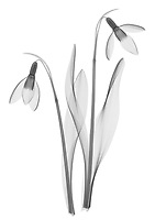 X-ray image of a snowdrop pair (Galanthus, black on white) by Jim Wehtje, specialist in x-ray art and design images.