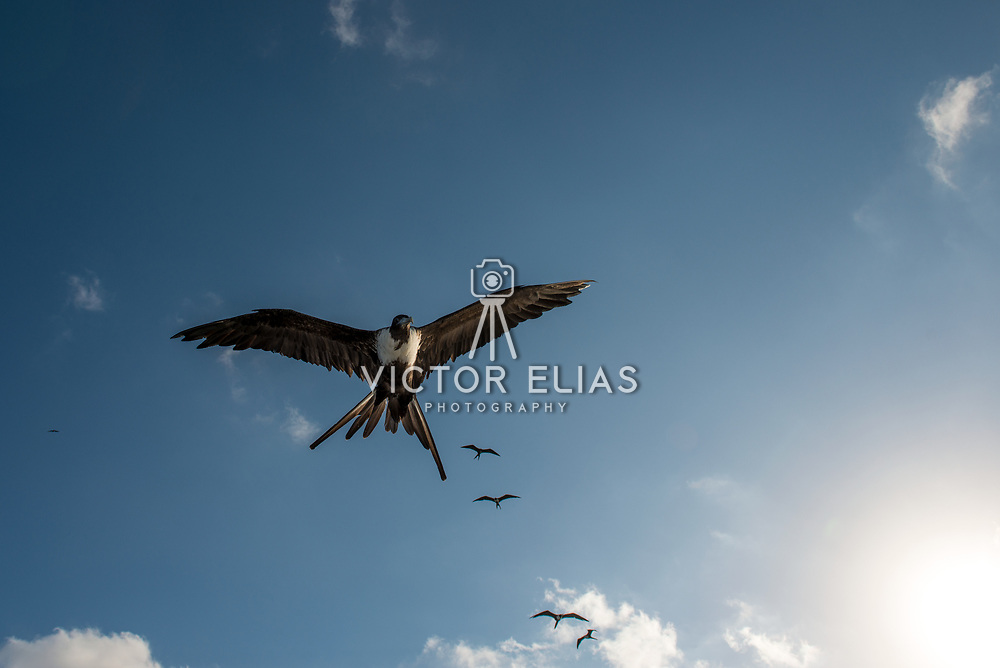 Frigate birds flying low. Wyndham Reef Resort. East End, Grand Cayman