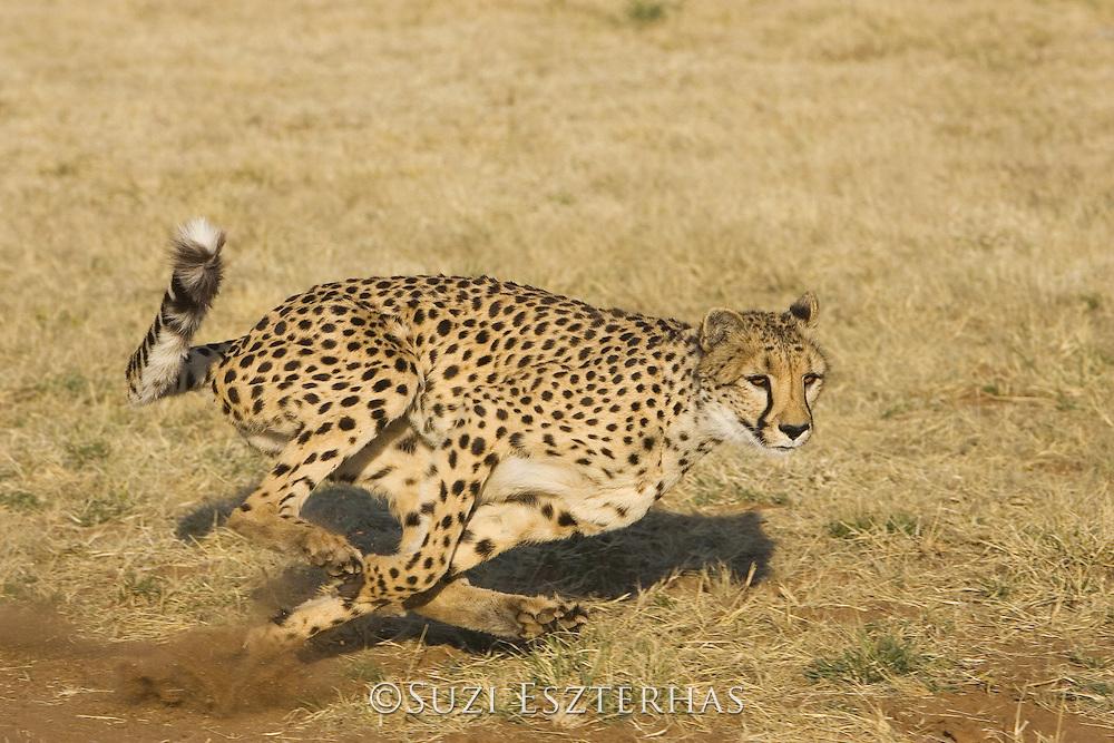 Cheetah running<br /> Acinonyx jubatus<br /> Namibia<br /> *Captive