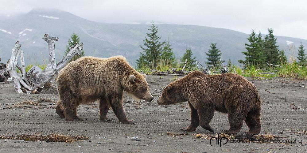 Brown bears on beach greeeting eachother;  Lake Clark, Alaska in wild.