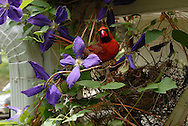 Lancaster County, Nebraska.  A male northern cardinal pauses at the nest after delivering food to its week old chicks sheltered in a porch side clematis. These brightly colored songbirds feed on seeds, fruit and insects, and inhabit brush with adjacent open areas both in town and countryside. Extending throughout much of the eastern United States, in Nebraska, they are at the western edge of their range in the Great Plains.