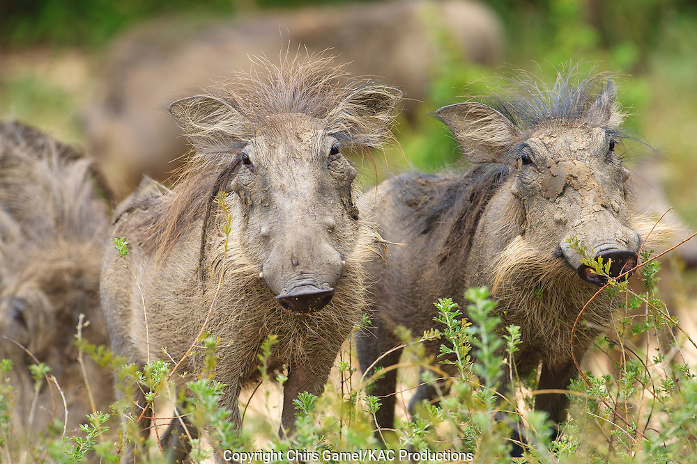 Two juvenile warthogs standing together in the grass.
