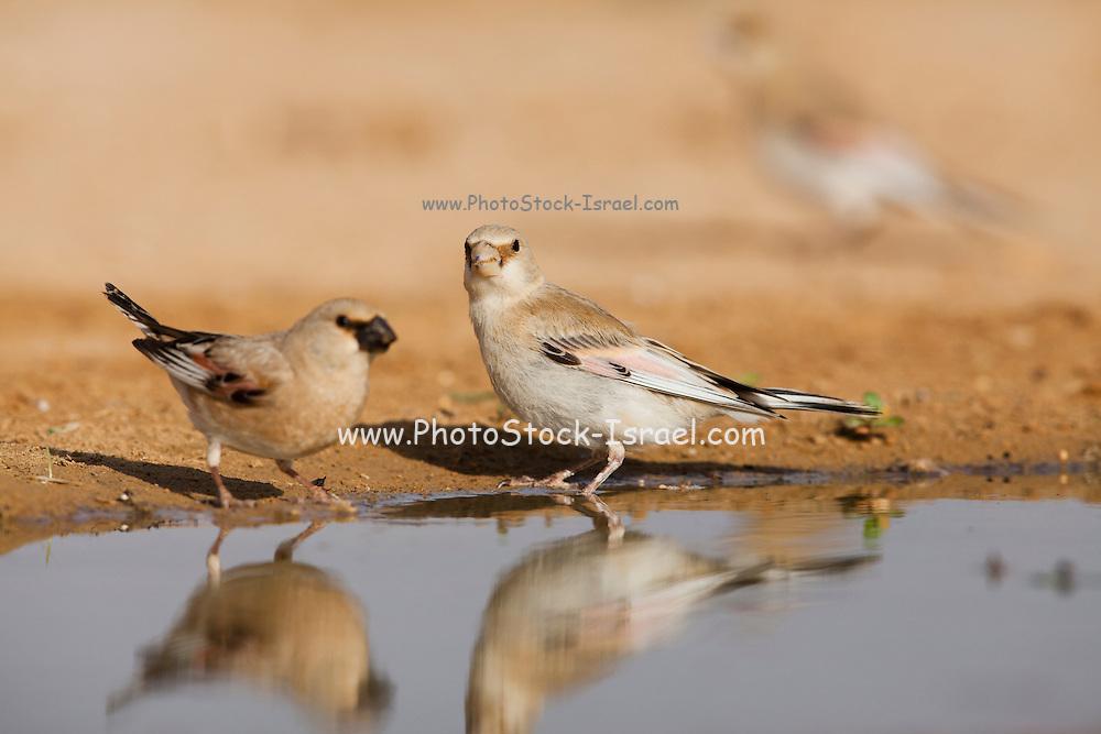 Desert Finch (Carduelis obsoleta) near a puddle of water in the Negev desert, israel