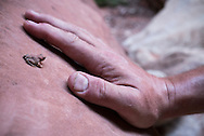 A very small frog is dwarfed by friendly human hand, Grand Canyon, AZ