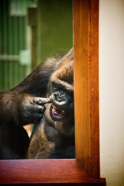 Nederland. Rotterdam, 27 juni 2007.<br /> Bokito, de zilverrug gorilla die op 18 mei ontsnapte uit zijn verblijf en een vrouw zwaar verwondde. Achter glas, in afwachting van een nieuw &quot;Bokito-proof&quot; buitenverblijf<br /> Foto Martijn Beekman <br /> NIET VOOR TROUW, AD, TELEGRAAF, NRC EN HET PAROOL