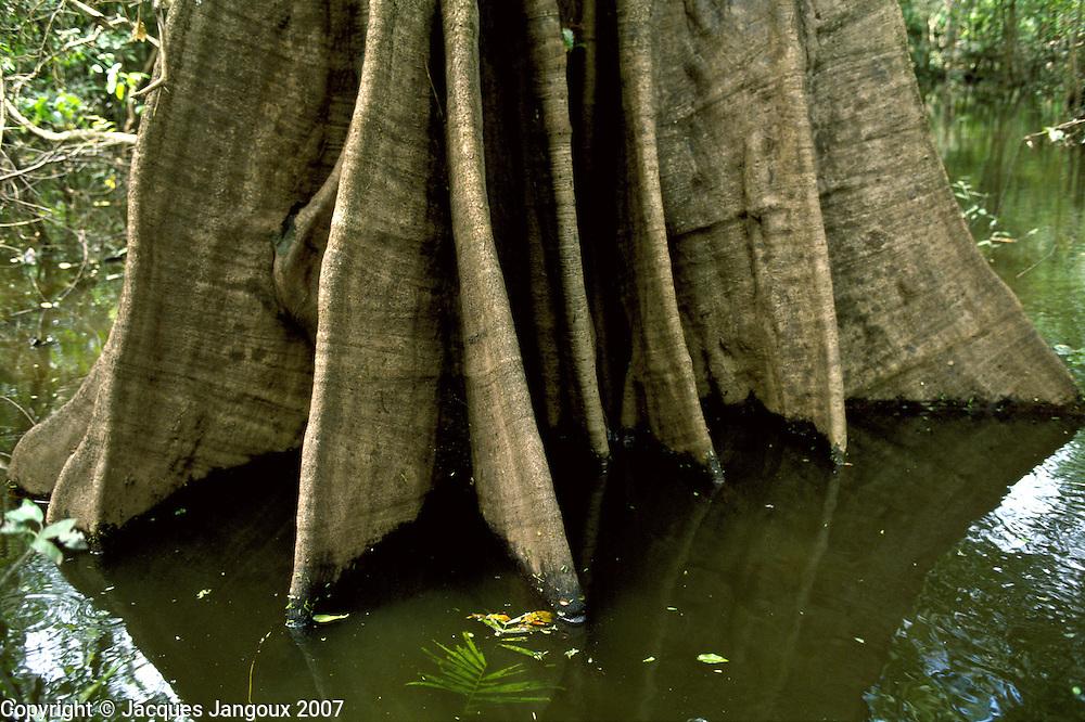 Buttresses of Urucurana tree in swamp forest (mata de igapo) in Mamiraua reserve in Amazon region, Brazil.
