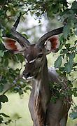 Kudu, Moremi National Park,Botswana, Southern Africa, Africa.© Z&D Lightfoot.www.Lightfootphoto.com