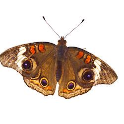 Common Buckeye butterfly, Junonia coenia, found in Rye, New Hampshire.