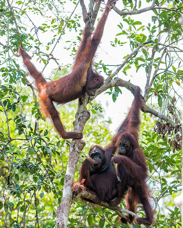 Borneo Orangutans (Pongo pygmaeus wurmbi) from Tanjung Puting National Park, Kalimantan, Indonesia