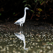 Snowy Egret (Egretta thula) in Tortuguero National Park, Costa Rica on April 8, 2009.  (Photo/Billy Byrne Drumm)