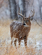 Mature whitetail in snowy autumn habitat
