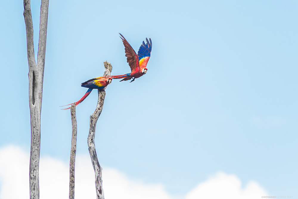A pair of endangered Scarlet Macaws ( Ara macao cyanoptera ) keep watch on their nesting tree near the Raspacullo river, Belize. A subspecies of the Scarlet Macaws in South America (Ara macao macao), there are an estimated 150-200 wild Scarlet Macaws in Belize. In 2003 the controversial Chalillo hydro-electric dam was built, resulting in the flooding of the only known area in Belize where Scarlet Macaws nest. Formed in 2012, the volunteer run and funded Scarlet Six Biomonitoring Team, a small team of community rangers, was formed out of a dire need to help protect the macaw chicks from heavy Guatemalan poaching.  In 2011, almost 90% of the active nests in the area were poached by Guatemalans, this number is now down to 30% due to their regular patroling of the nest sites along the rivers, via boat and on foot, and their very visible presence.