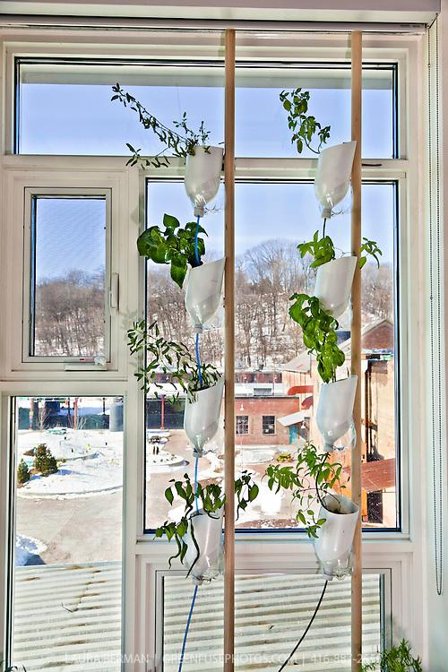 Hydroponic window gardens at Evergreen Brick Works.