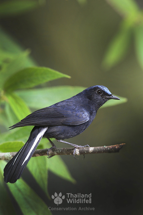 The white-tailed robin (Cinclidium leucurum) is an Old World flycatcher in the family Muscicapidae. It ranges across the northern regions of the Indian subcontinent and adjacent areas of Southeast Asia.