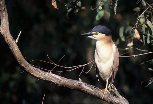 Nankeen (Rufous) Night Heron (Nycticorax caledonicus)  in Australia.