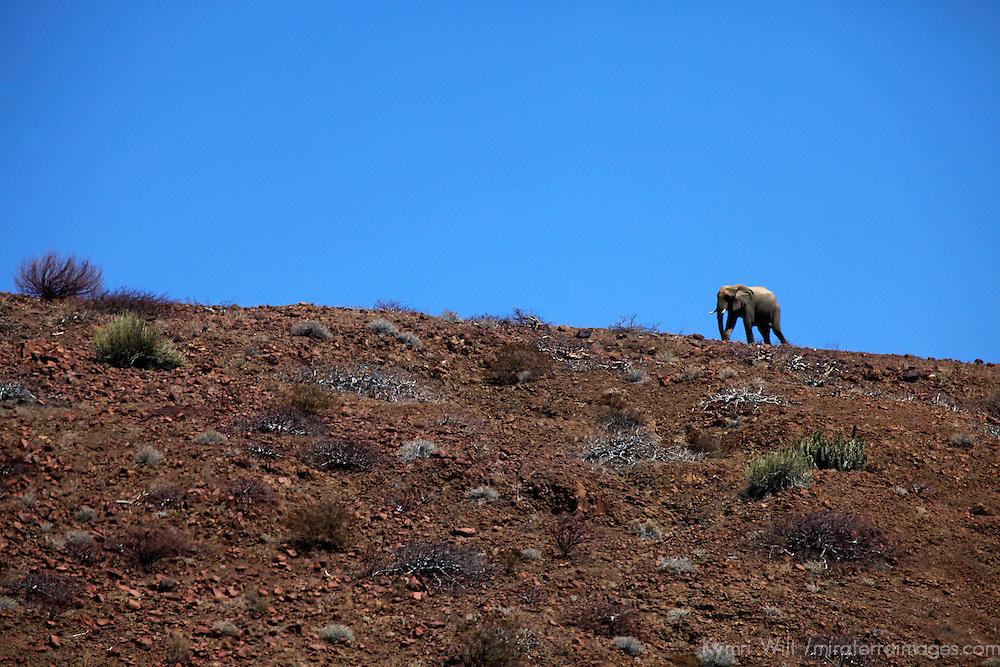 Africa, Namibia, Puros. Desert dwelling elephants of Kaokoland.