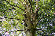 Beech tree in the Cotswolds, Oxfordshire, United Kingdom