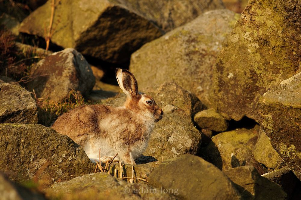 A Mountain Hare, Lepus timidus, midway through the spring moult into its summer coat