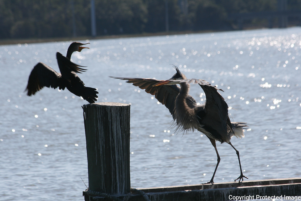 Great Blue Heron driving a comorant from a coveted standing post on a Jekyll Island boat dock.