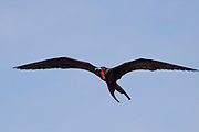 male magnificent frigatebird (Fregata magnificens) in flight over North Seymour Island, Galapagos Archipelago - Ecuador.