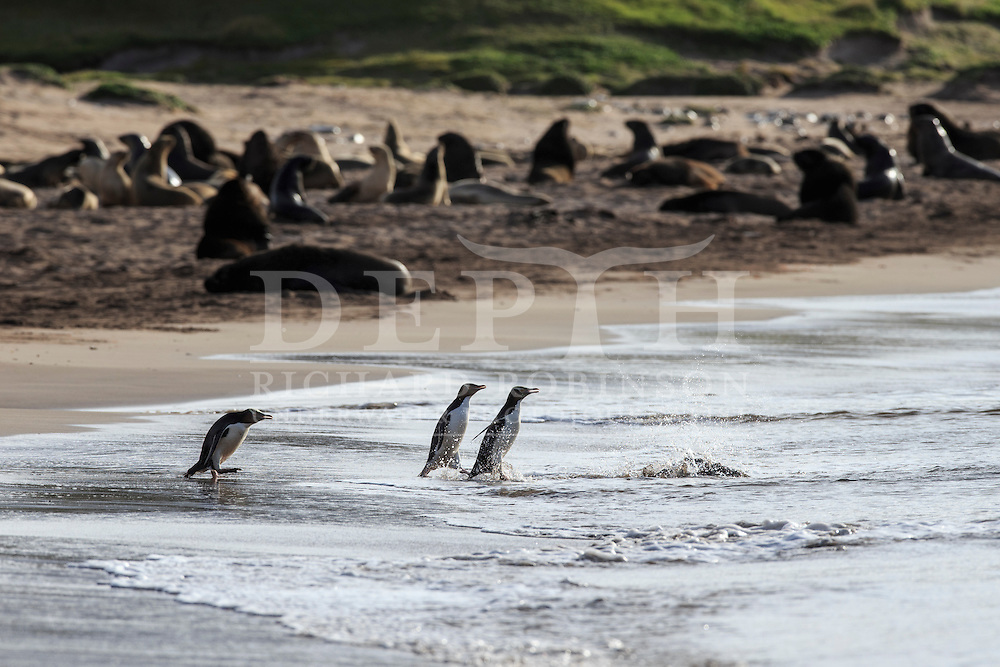 Megadyptes antipodes (Yellow eyed penguin) run the gauntlet through a colony of Phocarctos hookeri (New Zealand Sea Lion) at Sandy Bay, Enderby Island, Auckland Islands, New Zealand.<br /> 06 January 2016<br /> Photograph Richard Robinson &copy; 2016
