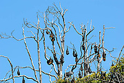 Part of the large colony of Grey-headed Flying-foxes (Pteropus poliocephalus) resident in the Royal Botanic Gardens, Sydney, Australia