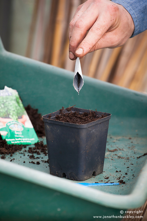 Sowing basil into pots