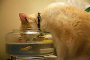 «He? ho le chat! Tu m'en laisses un peu oui?!».Le chat et le poisson rouge de mon ami Philippe a? Paris..