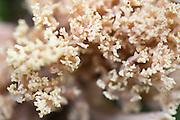 korallsopp, Ramaria. Sannsynligvis sitronkorallsopp.