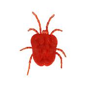 EUTROMBIDIUM SP<br /> red velvet mite