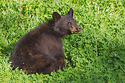 Stock Photo of black bear cub captured in Wyoming.  The cubs leave the den with their mother when they weigh around 4 to 6 pounds. Usually in April