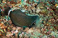Rockmover Wrasse, Novaculichthys taeniourus (Lacepede, 1801), Lanai Hawaii