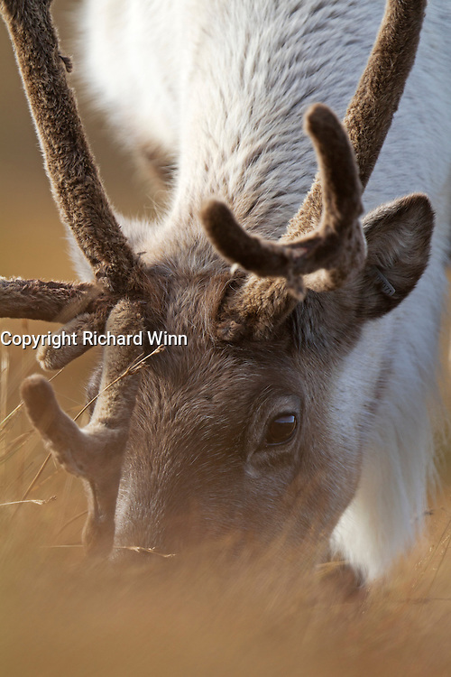Closeup head-on view of a reindeer grazing on the Cairngorm mountain range.
