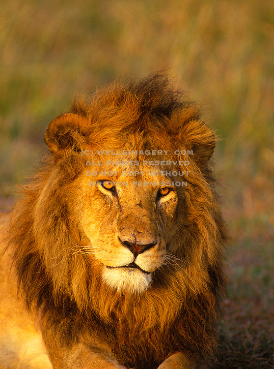 Image of a male lion (panthera leo) portrait at the Masai Mara National Reserve in Kenya, Africa
