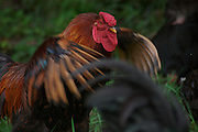 male chickens,  cockerels. rooster, fighting, cock fight,feathers,