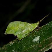 Systella Dusmeti. Leaf mimic katydid of the genus is Systella, a short-horned grasshopper (Caelifera) in the family Trigonopterygidae.