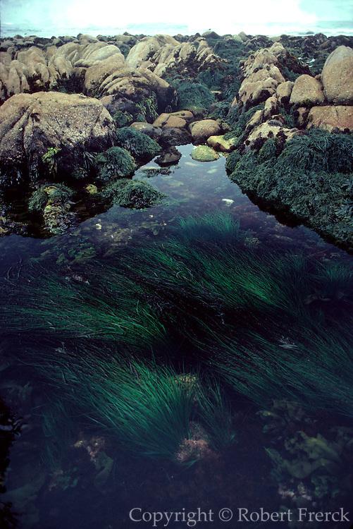UNDERWATER MARINE LIFE EAST PACIFIC, Southern California coast ALGAE: Surf grass Phyllospadix scouleri