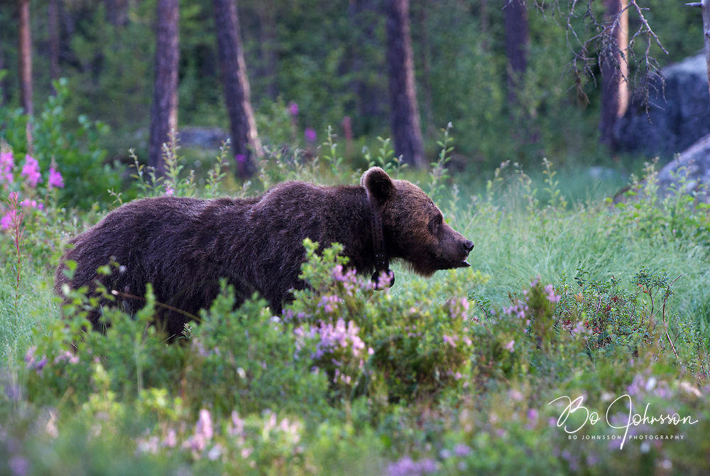 Wary male brown bear (Ursus arctos) in the wild forests near Edsbyn i Halsingland, Sweden.<br /> July 2008.