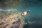 A California sea lion swim in the waters off the coast of Los Islotes, Gulf of California, Baja California Sur, Mexico.