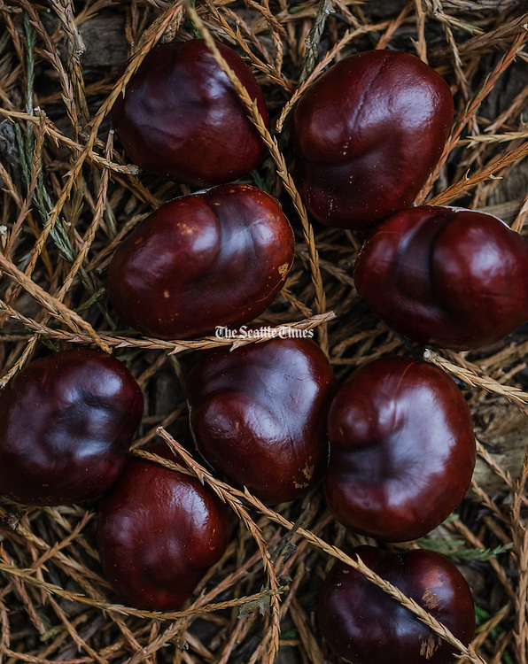 Fallen Chestnuts that have broken out of their husks on a bed of needles at Volunteer Park in Seattle.<br /> <br /> Steve Ringman / The Seattle Times