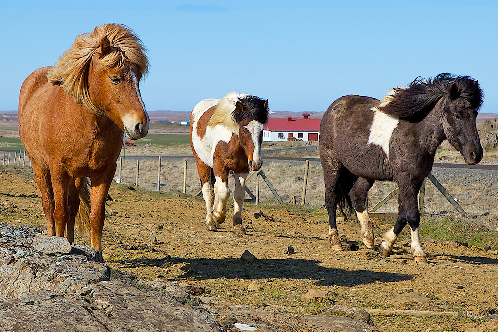 Trio of Icelandic horses, eastern Iceland