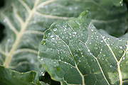 Brussel sprout leaves with dew.