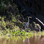 Bolivia. A heron stands on the bank of the river Ibare on route to Copacobana